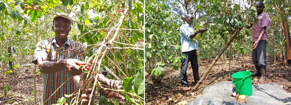 Das Ernten der reifen, bio-fairen Kaffeekirschen ist reine Handarbeit. Hier findet die erste Auslese statt.