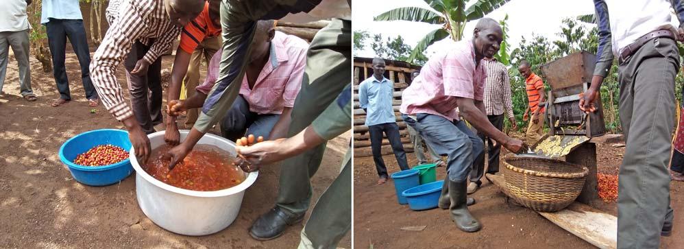 """Aussortieren der """"floaters"""", der obenauf schwimmenden, unbrauchbaren Kaffeekirschen und das Schälen mit einer handbetriebenen Schälmaschine, Uganda"""