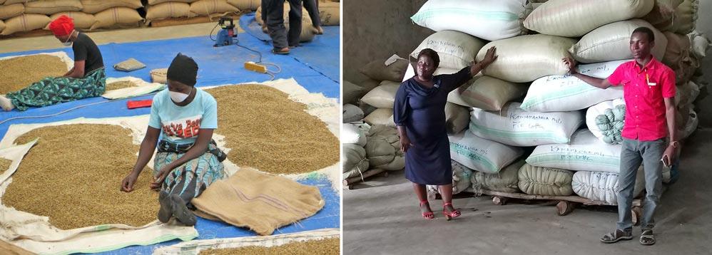 """Links das Handverlesen der bio-fairen Kaffeebohnen direkt vor dem Export; Rechts Josinta, die stolze Geschäftsführerin der """"Bukonzo Organic Farmers Cooperative"""" und ihr Qualitätsmanager vor exportfertigen Kaffeesäcken"""