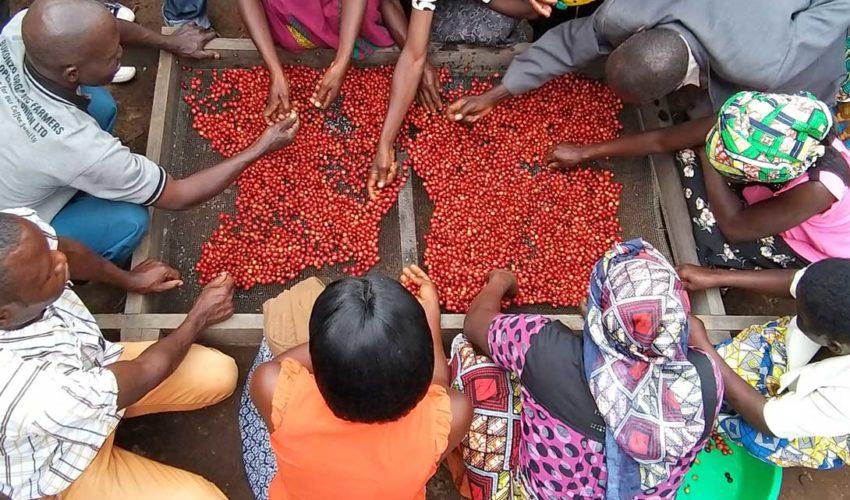 Kaffeebäuerinnen und -bauern beim Handeverlesen der frischen, bio-fairen Kaffeekirschen